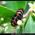 鞘翅目-三帶筒金花蟲_13.jpg