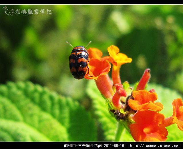 鞘翅目-三帶筒金花蟲_14.jpg