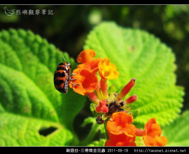 鞘翅目-三帶筒金花蟲_15.jpg