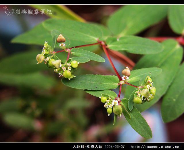 大戟科-紫斑大戟_01.jpg