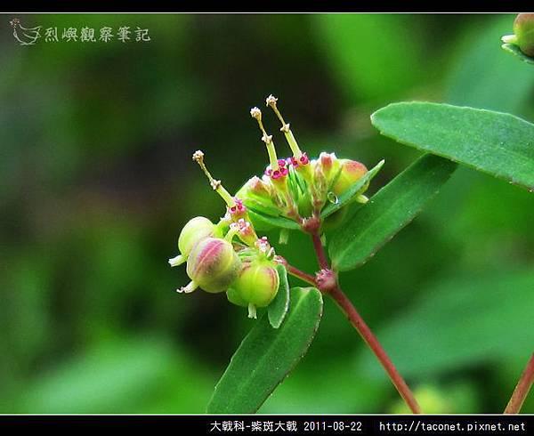 大戟科-紫斑大戟_05.jpg