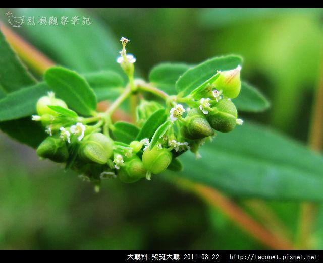 大戟科-紫斑大戟_04.jpg