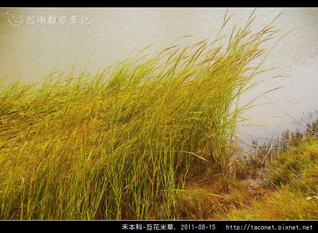 禾本科-互花米草_06.jpg