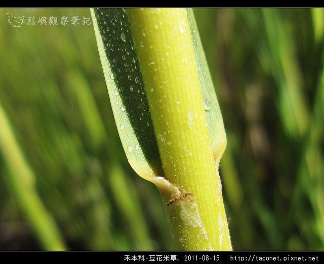 禾本科-互花米草_08.jpg