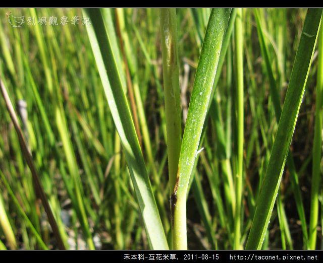 禾本科-互花米草_09.jpg