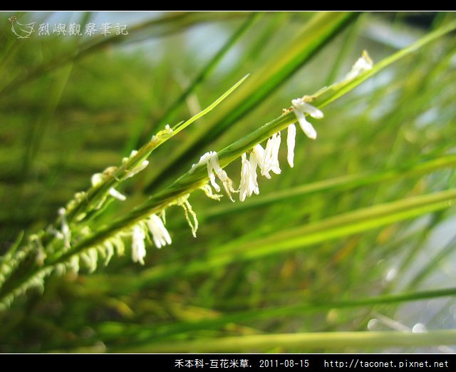 禾本科-互花米草_13.jpg