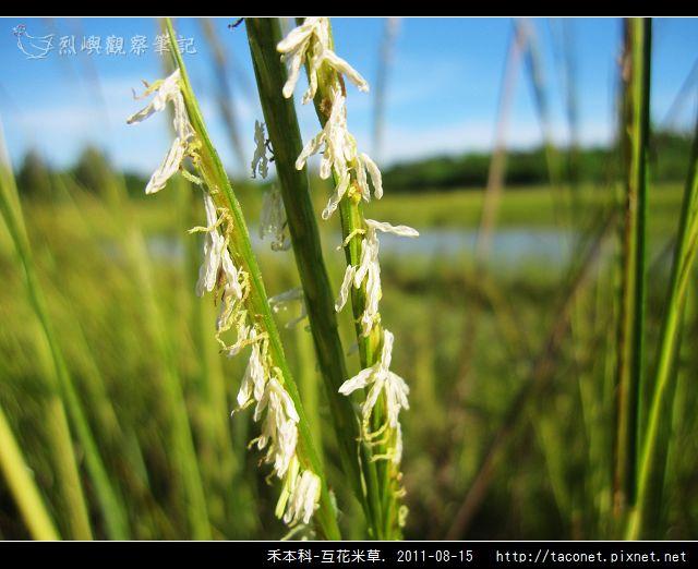 禾本科-互花米草_14.jpg