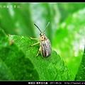 鞘翅目-豬草金花蟲_01.jpg