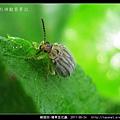 鞘翅目-豬草金花蟲_03.jpg