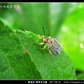 鞘翅目-豬草金花蟲_02.jpg