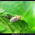 鞘翅目-豬草金花蟲_04.jpg