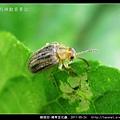 鞘翅目-豬草金花蟲_05.jpg