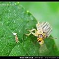 鞘翅目-豬草金花蟲_06.jpg