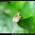 鞘翅目-豬草金花蟲_08.jpg