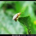 鞘翅目-豬草金花蟲_07.jpg
