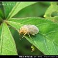 鞘翅目-豬草金花蟲_09.jpg