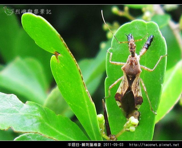 半翅目-輪刺獵椿象_01.jpg