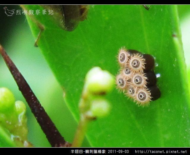 半翅目-輪刺獵椿象_04.jpg
