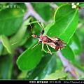半翅目-輪刺獵椿象_07.jpg