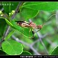 半翅目-輪刺獵椿象_08.jpg