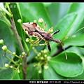 半翅目-輪刺獵椿象_09.jpg