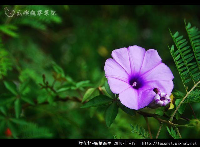 旋花科-槭葉牽牛_01.jpg