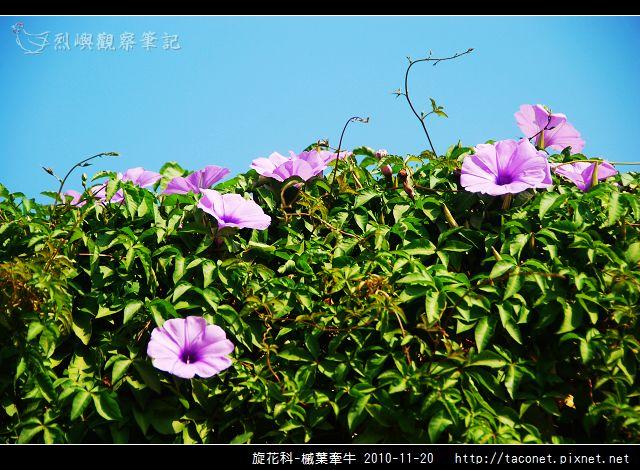 旋花科-槭葉牽牛_03.jpg