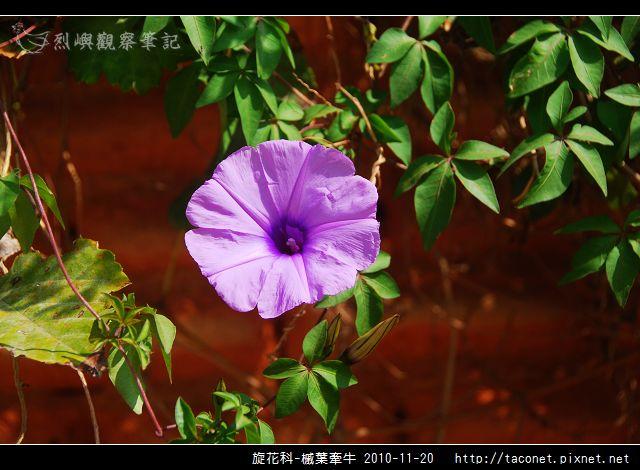 旋花科-槭葉牽牛_05.jpg