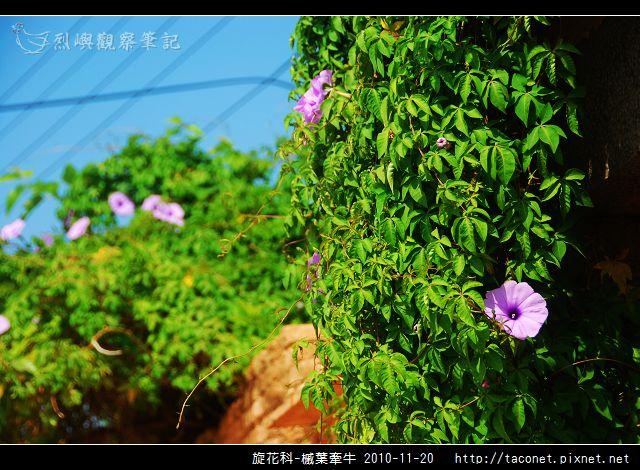 旋花科-槭葉牽牛_06.jpg