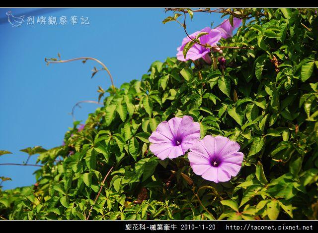 旋花科-槭葉牽牛_08.jpg