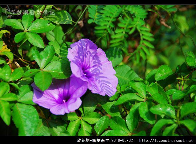 旋花科-槭葉牽牛_10.jpg