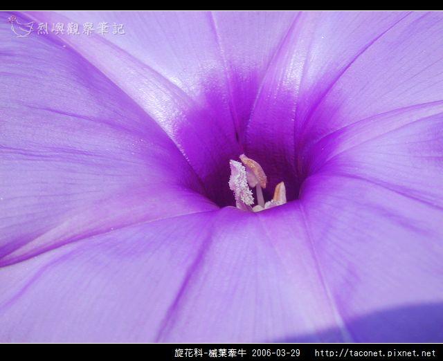 旋花科-槭葉牽牛_11.jpg
