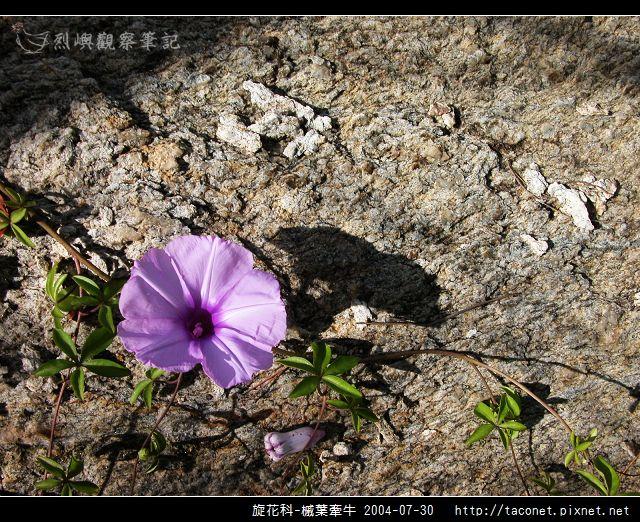 旋花科-槭葉牽牛_12.jpg