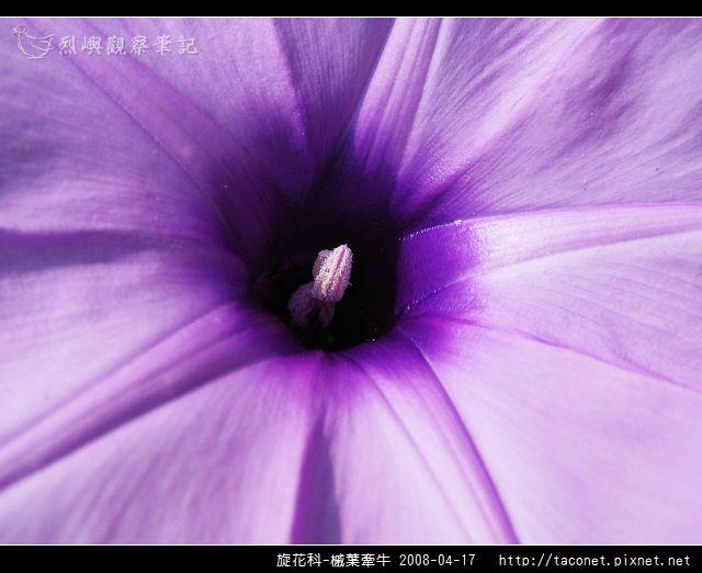 旋花科-槭葉牽牛_13.jpg