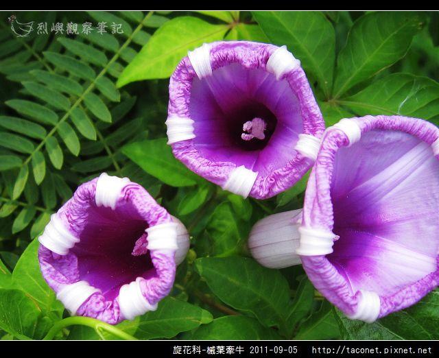 旋花科-槭葉牽牛_14.jpg