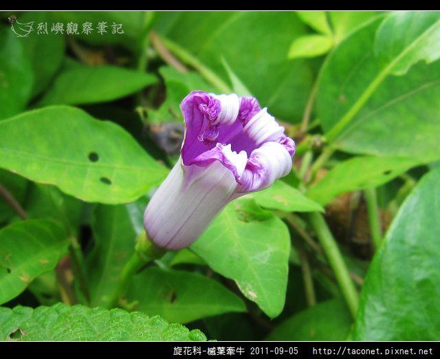 旋花科-槭葉牽牛_15.jpg