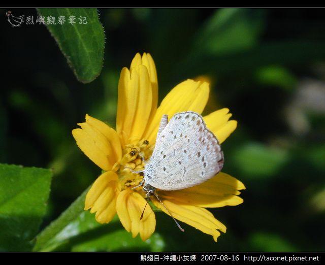 鱗翅目-沖繩小灰蝶_01.jpg