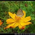 鱗翅目-沖繩小灰蝶_03.jpg