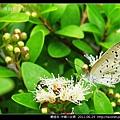 鱗翅目-沖繩小灰蝶_05.jpg