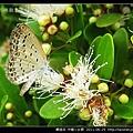 鱗翅目-沖繩小灰蝶_06.jpg