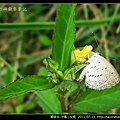 鱗翅目-沖繩小灰蝶_09.jpg