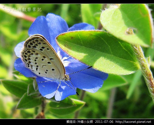 鱗翅目-沖繩小灰蝶_08.jpg