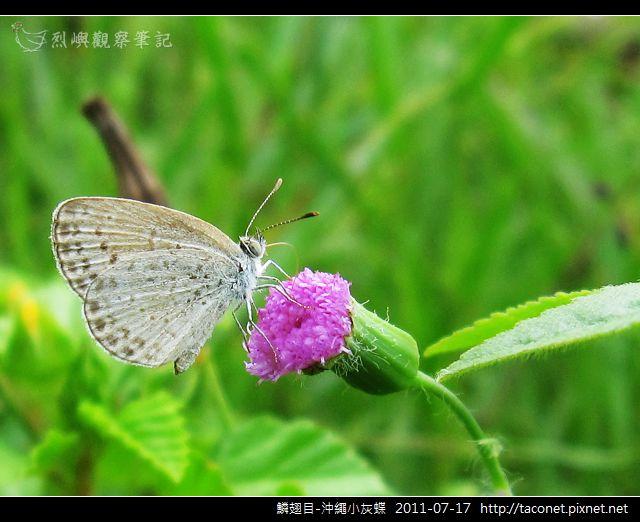 鱗翅目-沖繩小灰蝶_10.jpg