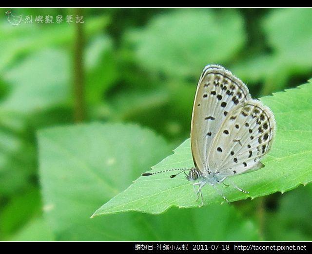 鱗翅目-沖繩小灰蝶_11.jpg