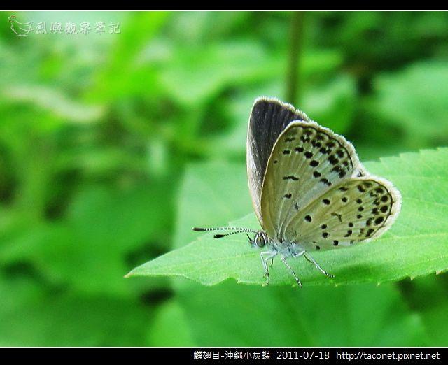 鱗翅目-沖繩小灰蝶_12.jpg