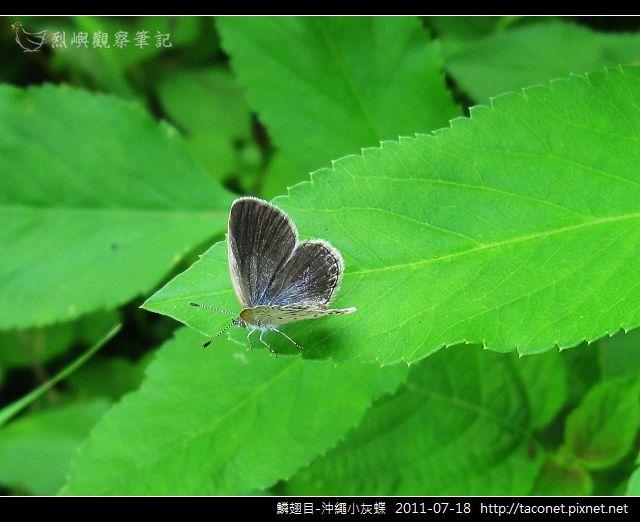 鱗翅目-沖繩小灰蝶_13.jpg
