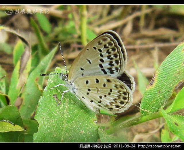 鱗翅目-沖繩小灰蝶_14.jpg