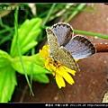 鱗翅目-沖繩小灰蝶_16.jpg