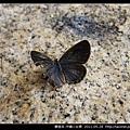 鱗翅目-沖繩小灰蝶_17.jpg