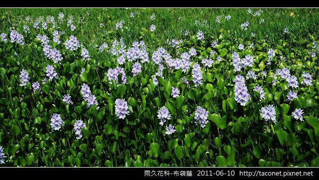 雨久花科-布袋蓮_05.jpg